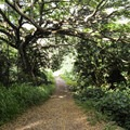 The trail follows an old dirt road, which is relatively flat but sometimes muddy.- Kamananui Valley Road