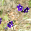 Unidentified species (help us identify it by providing feedback).- Horse Thief Loop + Historic Flume Trail