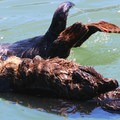 A sea otter holding onto her napping kit.- Morro Bay Sea Otter Viewing