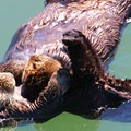 A kit stretching.- Morro Bay Sea Otter Viewing