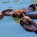 Sea otters are very social and can often be found in groups, even when napping.- Morro Bay Sea Otter Viewing