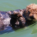 A curious sea otter.- Morro Bay Sea Otter Viewing