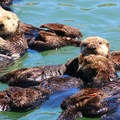 Sea otters are very social and can often be found in groups.- Morro Bay Sea Otter Viewing
