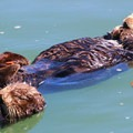 Sea otters napping together.- Morro Bay Sea Otter Viewing