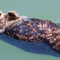 Napping sea otter.- Morro Bay Sea Otter Viewing