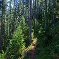 Thicker second-growth Douglas fir forest.- Stahlman Point