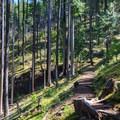 Thinning Douglas fir forest.- Stahlman Point