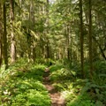 The South Willamette Trail winds through dense understory of Douglas fir forest in the Willamette Valley.- South Willamette Trail Hike
