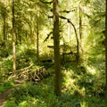 Dense, verdant understory on the South Willamette Trail.- South Willamette Trail Hike