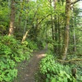 The South Willamette Trail weaves through dense understory.- South Willamette Trail Hike