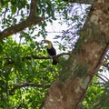 Keel-billed toucan (Ramphastos sulfuratus) in nearby trees.- Green Iguana Conservation Project