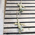 Green iguanas.- Green Iguana Conservation Project