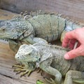 Visitors can touch the iguanas during the tour.- Green Iguana Conservation Project