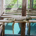 Green iguanas relaxing in the shade.- Green Iguana Conservation Project