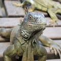 Green iguana (Iguana iguana).- Green Iguana Conservation Project