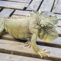 Green iguana.- Green Iguana Conservation Project