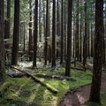 Lush greenery of the forest, especially in the spring.- Little North Santiam River Trail