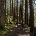 Thick forest surrounds the trail.- Little North Santiam River Trail