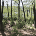A pine forest along the hiking trails.- Gillette Castle State Park