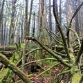 Old-growth forest.- Charlie's Bunion