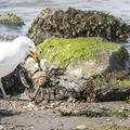 A gull catching some breakfast.- Sherwood Island State Park