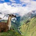 Llamas rest amid the ruins of Intipata.- Machu Picchu via the Inca Trail