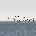 Canada geese flying over the sound.- Silver Sands State Park
