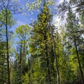 Aspens just beginning to leaf out in mid May.- Ken Patrick Trail