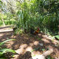 One of the many chickens present in the area surrounding Honolua Bay.- Honolua Bay