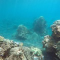 Coral submerged just offshore from Honolua Bay.- Honolua Bay