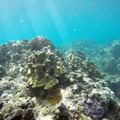Coral submerged just offshore of Honolua Bay.- Honolua Bay
