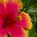 Hibiscus flower growing near Kehei Beach.- Kihei Beach - Shoreline Access 118