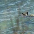 Green sea turtles (Chelonia mydas) in Ho'okipa Bay.- Ho'okipa (H-Poko) Beach Park + Overlook