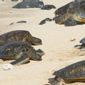Green sea turtles (Chelonia mydas) in Ho'okipa Beach.- Ho'okipa (H-Poko) Beach Park + Overlook
