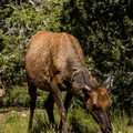 A small female elk grazing in the campground.- Desert View Campground