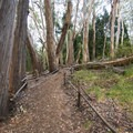 Eucalyptus trees along the Hosmer Grove Nature Trail.- Hosmer Grove Campground