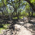 View of the Hoapili Trail through a grove of algoroba/kiawe (Prosopis pallida) trees.- Hoapili Trail / King's Highway