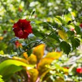 Red/Chinese hibiscus (Hibiscus rosa-sinensis) along the Twin Falls Trail.- Twin Falls Hike + Wailele Farm