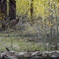 Mule deer grazing in the aspens along the trail.- Widforss Trail