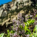 Lilacs in bloom along the trail in April.- West Fork Trail Hike