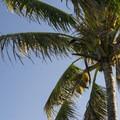 Coconut palm/niu (Cocos nucifera) along the Kahakai Trail.- Kūloa Point + Kahakai Trail