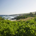 View southwest along the Kahakai Trail with beach cabbage (scaevola taccada) in the foreground.- Kūloa Point + Kahakai Trail