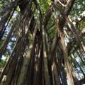 Banyan tree/paniana (ficus benghalensis) along the Kūloa Point Trail.- Kūloa Point + Kahakai Trail