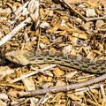 A local snake visiting the campground.- Dead Horse Ranch Campground