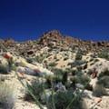 Wildflowers in the desert.- Lost Palms Oasis + Mastodon Peak Trail
