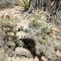 A cactus blooming.- Lost Palms Oasis + Mastodon Peak Trail