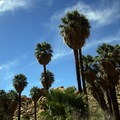 The palm oasis at the end of the trail.- Lost Palms Oasis + Mastodon Peak Trail