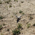 Another of the many lizard species you're likely to come across.- Lost Palms Oasis + Mastodon Peak Trail