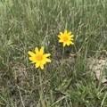 False sunflower (Heliopsis helianthoides).- Devils Pass via the Maah Daah Hey Trail