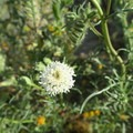 One of many wildflowers you may see in the springtime at Saddleback Butte.- Saddleback Butte State Park
